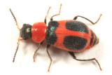 Soft-winged Flower Beetles - Melyridae