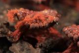 Metatrichia vesparium