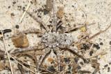 Wolf Spiders - Genus Arctosa