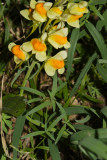 Linaria vulgaris (Butter and Eggs)