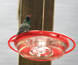 Broad-billed Hummingbird - Cyanthus latirostris