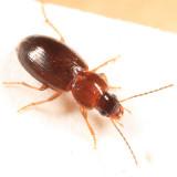 Stenolophus thoracicus