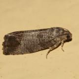 3492 - Codling Moth - Cydia pomonella