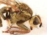 Scathophaga stercoraria
