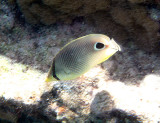 Four-eyed Butterfly Fish - Chaetodon capistratus