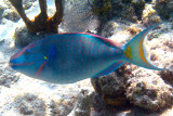 male Stoplight Parrotfish - Sparisoma viride