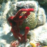 Erect Rope Sponge - Amphimedon cornpressa & Large-grooved Brain Coral - Colpophyllia natans