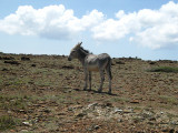 Mule walking around loose on Aruba