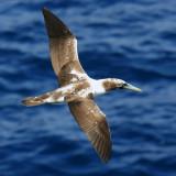Pelicans, Frigatebirds, Gannets & Allies