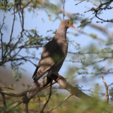 Bare-eyed Pigeon - Patagioeanas corensis