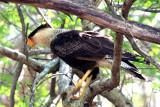 Crested Caracara - Caracara plancus