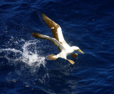 Masked Booby - Sula dactylatra (taking off)