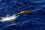 Striped Dolphin - Stenella coeruleoalba