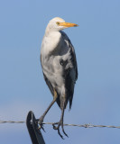 melanistic Cattle Egret - Bubulcus ibis