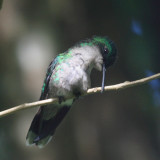 Blue-headed Hummingbird - Cyanophaia bicolor (female)