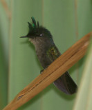 Antillean Crested Hummingbird - Orthorhyncus cristatus