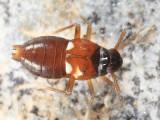 Pissonotus guttatus
