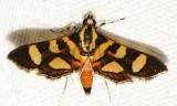 5284 - Red-waisted Florella Moth - Syngamia florella