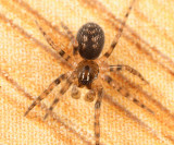 Cybaeid Spiders - Cybaeidae