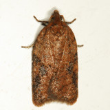 3507 Strawberry Tortrix - Acleris comariana