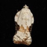 3517 - Bent-wing Acleris - Acleris subnivana