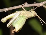 Schistocerca camerata (newly molted)