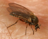 Black Fly (Simuliidae)