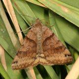 8738 - Clover Looper (Caenurgina crassiuscula)