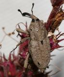 Sphenophorus callosus