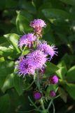 New England Blazing Star - Liatris scariosa var. novae-angliae