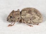 Imported Long-horned Weevil - Calomycterus setarius