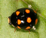 Lady Beetles - Genus Brachiacantha