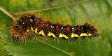9272 - Smeared Dagger Moth - Acronicta oblinita