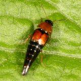 Tachyporus chrysomelinus?