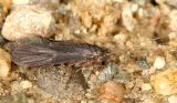 Net Tube Caddisflies - Psychomyiidae