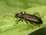 Drakling Beetles - Subfamily Lagriinae - Long-jointed Beetles