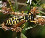 European Paper Wasp - Polistes dominulus