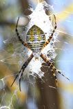 Orb Weaver Spiders - Araneidae