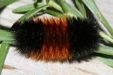 8129 - Woolly Bear - Pyrrharctia isabella