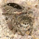 Phidippus purpuratus