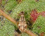 Teliapsocus conterminus (short-winged female)