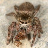 Phidippus princeps (eating another spider)