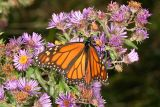 Monarch (Danaus plexippus) on New England Aster