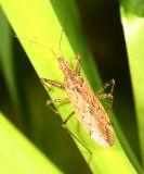 Damsel Bug - Nabis sp.