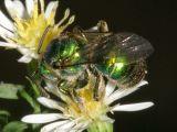 Augochloropsis metallica