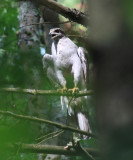 Northern Goshawk - Accipiter gentilis