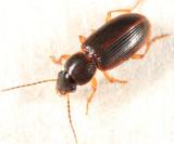 Stenolophus ochropezus