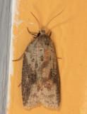3748 - White-line Leafroller Moth - Amorbia humerosana