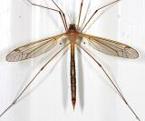 Tipula subgenus Yamatotipula