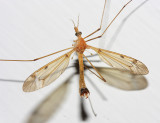 male Sooty Crane Fly - Tipula fuliginosa